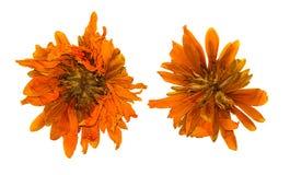 Pressande och torkad krysantemumblomma som isoleras arkivfoto