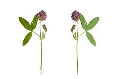 Pressande och torkad röd växt av släktet Trifolium för blomma eller trifoliumpratense Är Royaltyfri Fotografi