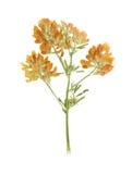 Pressande och torkad röd växt av släktet Trifolium för blomma eller trifoliumpratense Arkivfoton