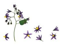 Pressande och torkad violett träig nightshade för delikat blomma Fotografering för Bildbyråer