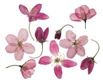 Pressande och torkade blommor av äpplet som isoleras på vit royaltyfria bilder