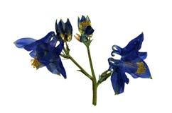 Pressande och torkade blommor av Aquilegia Arkivbild
