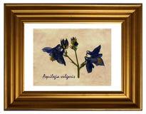 Pressande och torkade blommor av Aquilegia Royaltyfria Foton