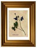 Pressande och torkade blommor av Aquilegia Arkivfoton
