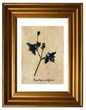 Pressande och torkade blommor av Aquilegia Arkivbilder