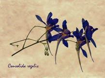 Pressande och torkade blommor av att dela sig riddarsporre Royaltyfria Bilder