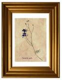 Pressande och torkade blommor av att dela sig riddarsporre Arkivbilder
