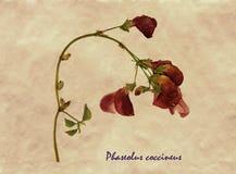 Pressande och torkade blommor av bönan för scharlakansröd löpare Royaltyfri Foto