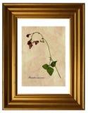 Pressande och torkade blommor av bönan för scharlakansröd löpare Arkivbilder