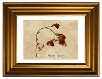 Pressande och torkade blommor av bönan för scharlakansröd löpare Royaltyfri Fotografi