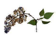 Pressande och torkade blommor av den gemensamma lilan Arkivbilder