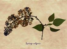 Pressande och torkade blommor av den gemensamma lilan Arkivbild