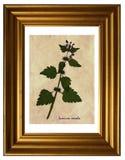 Pressande och torkade blommor av denleaved ärkeängeln Royaltyfri Bild