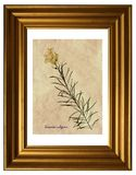 Pressande och torkade blommor av gemensam toadflax Royaltyfria Foton
