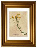 Pressande och torkade blommor av medick Royaltyfria Bilder