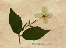 Pressande och torkade blommor av Philadelphus Royaltyfri Fotografi