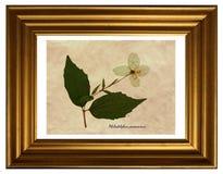 Pressande och torkade blommor av Philadelphus Fotografering för Bildbyråer