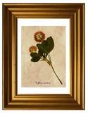 Pressande och torkade blommor av röd växt av släktet Trifolium Fotografering för Bildbyråer