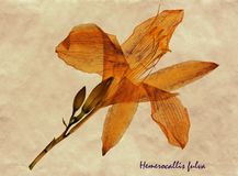 Pressande och torkade blommor av Tawny Daylily Royaltyfri Fotografi