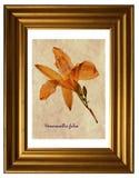 Pressande och torkade blommor av Tawny Daylily Arkivfoton