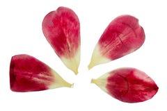 Pressande och torkade delikata burgundy färgar kronblad av tulpanflowe Royaltyfria Foton