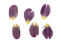 Pressande och torkade delikata mörka purpurfärgade kronblad av tulpan blommar Arkivfoto