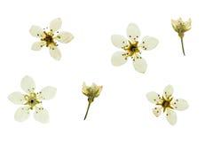 Pressande och torkade knoppar och ljust delikat blommapäron Arkivfoton