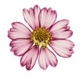 Pressande och torkat blommakosmos som isoleras på vit arkivfoto