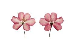 Pressande och torkat blommaäpple bakgrund isolerad white Arkivfoton