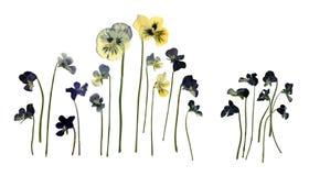 Pressande torkad Herbarium av Pansies Viola Tricolor Isolated på vit bakgrund Arkivbild