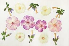 Pressande torkade floxknoppar och blommor Blom- bakgrund, bakgrund för oshibana som scrapbooking, herbarium En stor uppsättning a Royaltyfri Fotografi