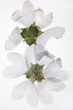 Pressande vita blommor Arkivfoto