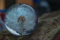 Presse-papiers en verre de fleur de foetida de Crepis photo stock