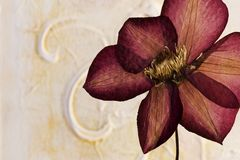 Pressed clematis flower. In front of artwork background, artwork is created and painted by myself Stock Photography