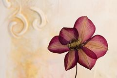 Pressed clematis flower Stock Photos