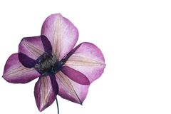Pressed clematis flower Royalty Free Stock Photo
