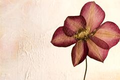 Pressed clematis flower Stock Photography