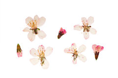 Pressed and dried аlmond steppe flowers. Isolated. Pressed and dried аlmond steppe or prunus tenella flowers. Isolated on white background. For use in royalty free stock images