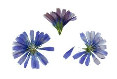 Pressed and dried blue flowers chicory or cichorium. Isolated on. Pressed and dried delicate transparent blue flowers chicory or cichorium. Isolated on white royalty free stock image