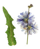 Pressed and dried blue flowers chicory. Pressed and dried delicate transparent blue flowers chicory or cichorium. Isolated on white background. For use in stock images