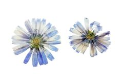 Pressed and dried blue flowers chicory. Isolated on white. Pressed and dried delicate transparent blue flowers chicory or cichorium. Isolated on white background stock photos