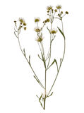 Pressed Dried branch of chamomile drug isolated. Royalty Free Stock Photos