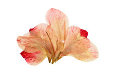 Pressed and dried bright pink flower gladiolus. Isolated on white background royalty free stock image