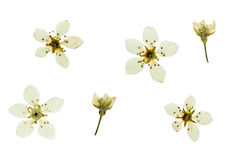Pressed and dried buds and bright delicate flowers pear. Stock Photos