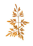 Pressed and dried carved leaves autumn herb stock photo