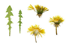 Pressed and dried dandelion flower and dandelion leaves. Stock Photos