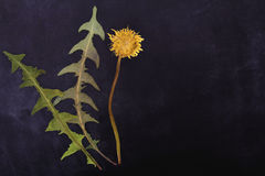 Pressed and dried dandelion flower Royalty Free Stock Photos