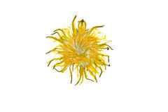 Pressed and dried dandelion flower. Isolated on a white background. royalty free stock photography