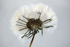 Pressed and dried dandelion. Pressed and dried seed head of dandelion Taraxacum on stem isolated on gray background for use in scrapbooking, floristry oshibana stock images