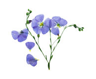 Pressed and dried delicate blue flower flax. Stock Image